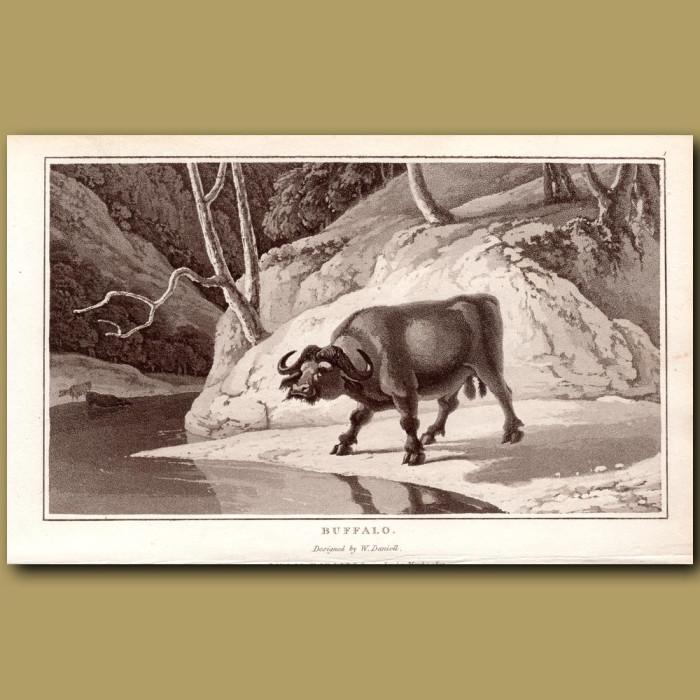 Buffalo: Genuine antique print for sale.