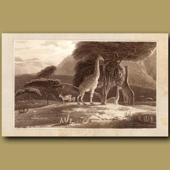 Giraffe: Genuine antique print for sale.