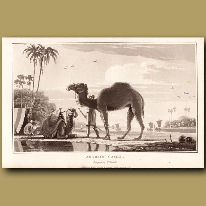 Arabian Camel: Genuine antique print for sale.