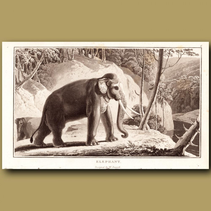 Antique print. Elephant