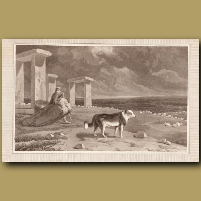 Shepherd's Dog (Collie): Genuine antique print for sale.