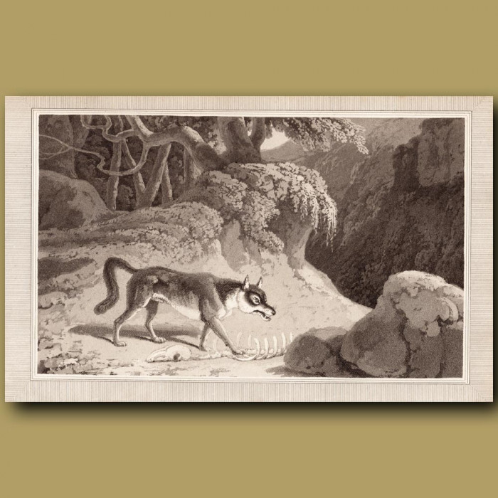 Wolf: Genuine antique print for sale.