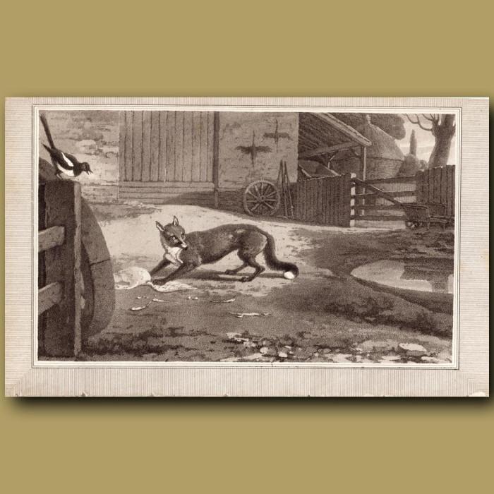 Fox: Genuine antique print for sale.