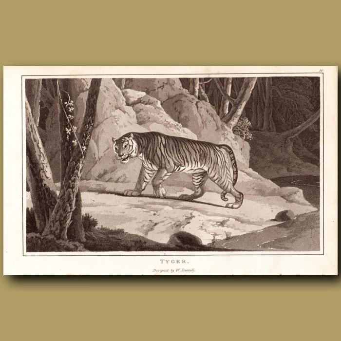 Tiger: Genuine antique print for sale.