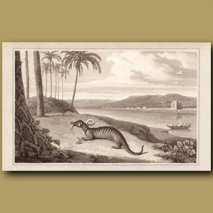 Egyptian Mongoose: Genuine antique print for sale.