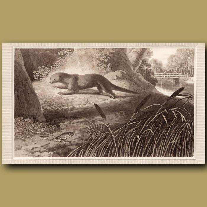 Otter: Genuine antique print for sale.