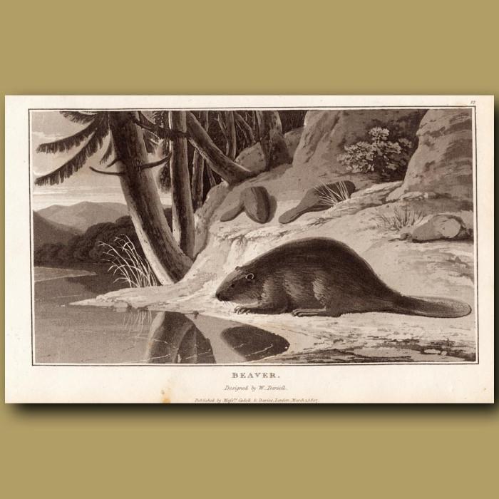 Antique print. Beaver