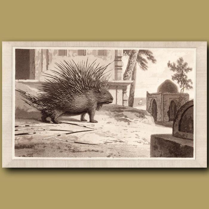 Porcupine: Genuine antique print for sale.