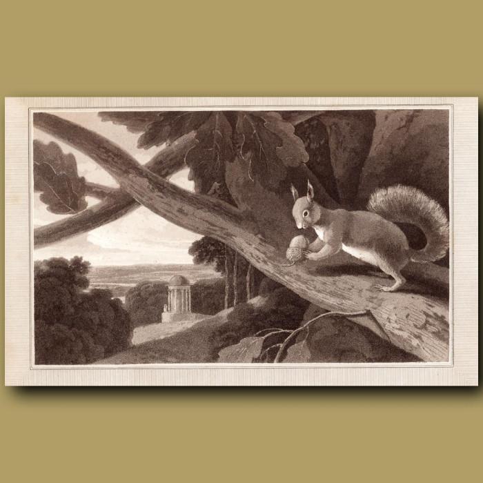 Squirrel: Genuine antique print for sale.
