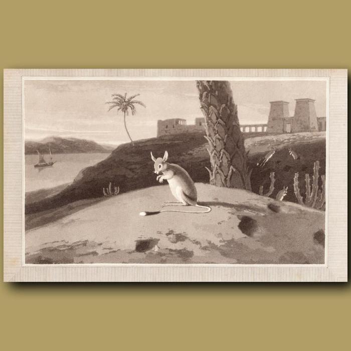 Jerboa: Genuine antique print for sale.