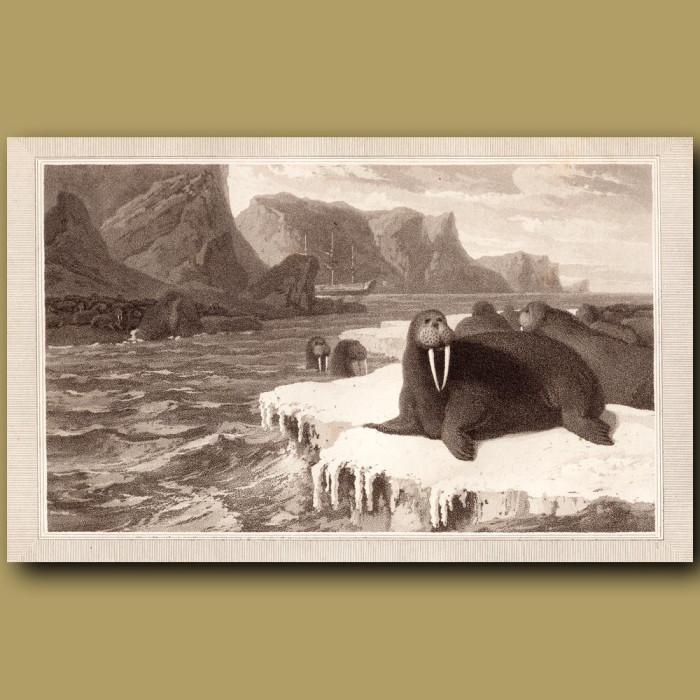 Arctic Walrus: Genuine antique print for sale.