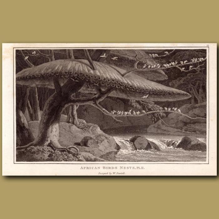 African Birds Nests: Genuine antique print for sale.
