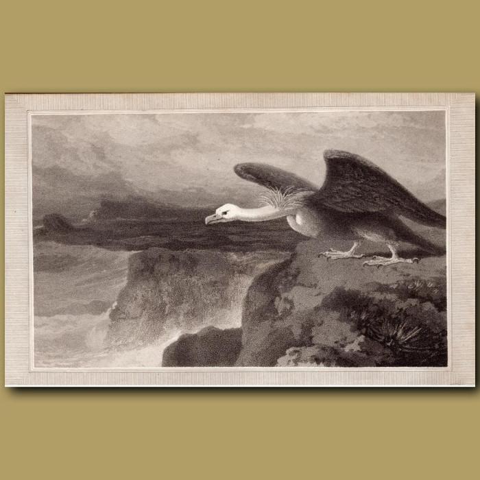 Condor: Genuine antique print for sale.