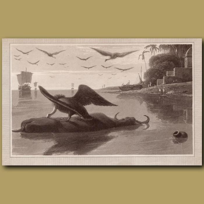 Carrion Vulture: Genuine antique print for sale.