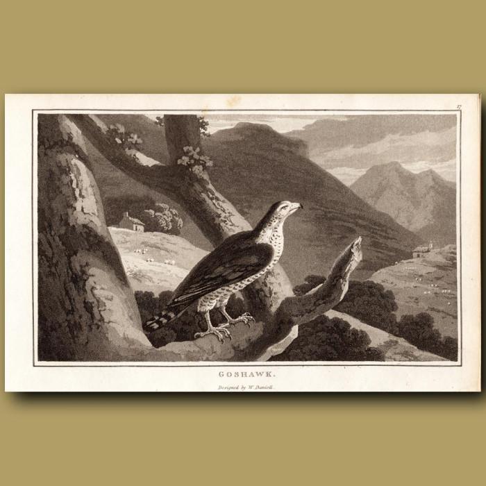 Goshawk: Genuine antique print for sale.