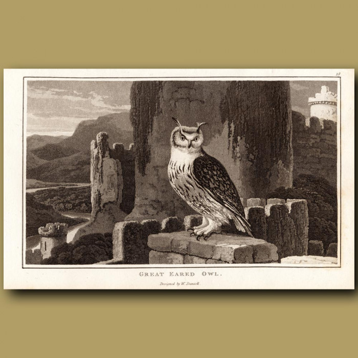 Great Eared Owl: Genuine antique print for sale.