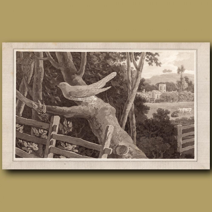 Cuckoo: Genuine antique print for sale.