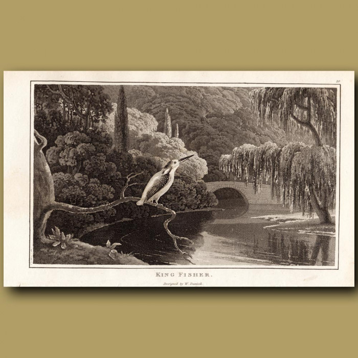 Kingfisher: Genuine antique print for sale.