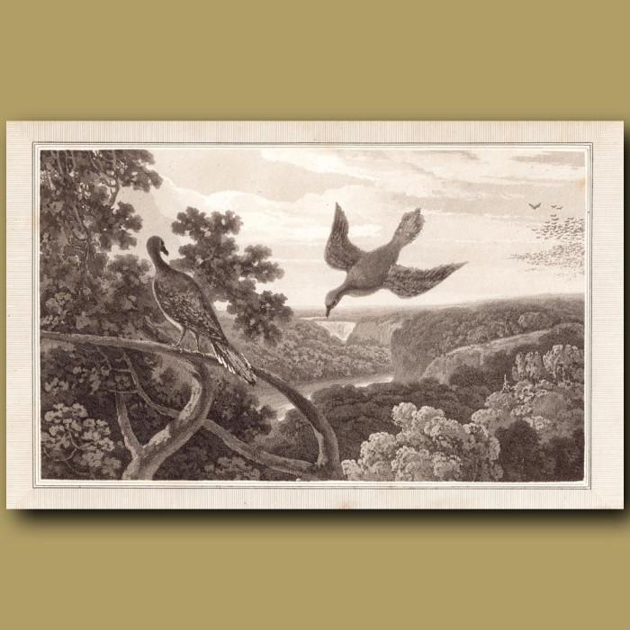 Passenger Pigeon (extinct): Genuine antique print for sale.