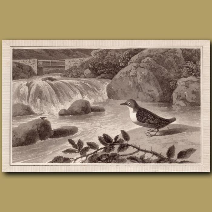 Water Ouzel: Genuine antique print for sale.