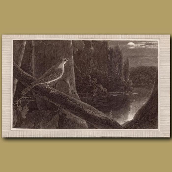 Nightingale: Genuine antique print for sale.