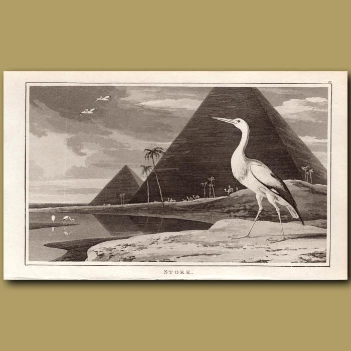 Stork: Genuine antique print for sale.