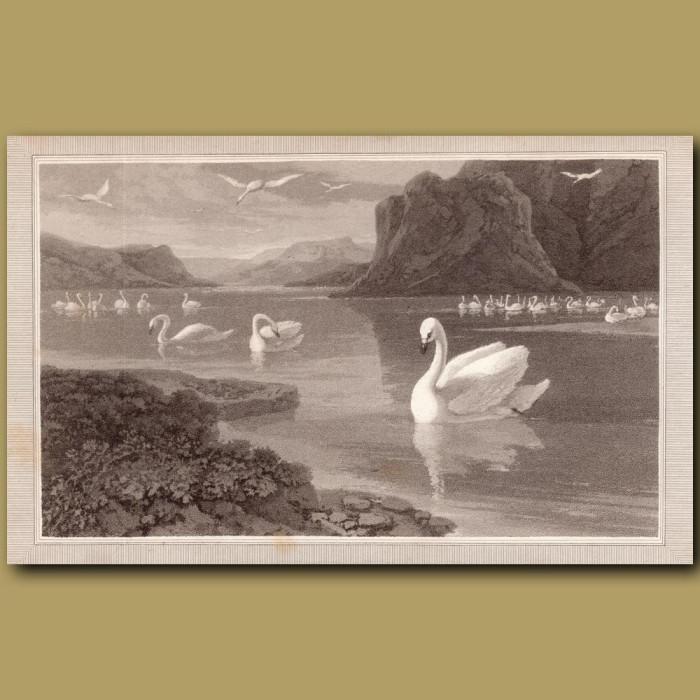 Wild Swan: Genuine antique print for sale.
