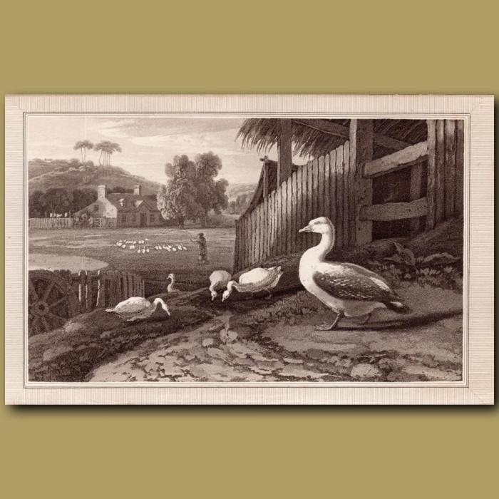 Goose: Genuine antique print for sale.