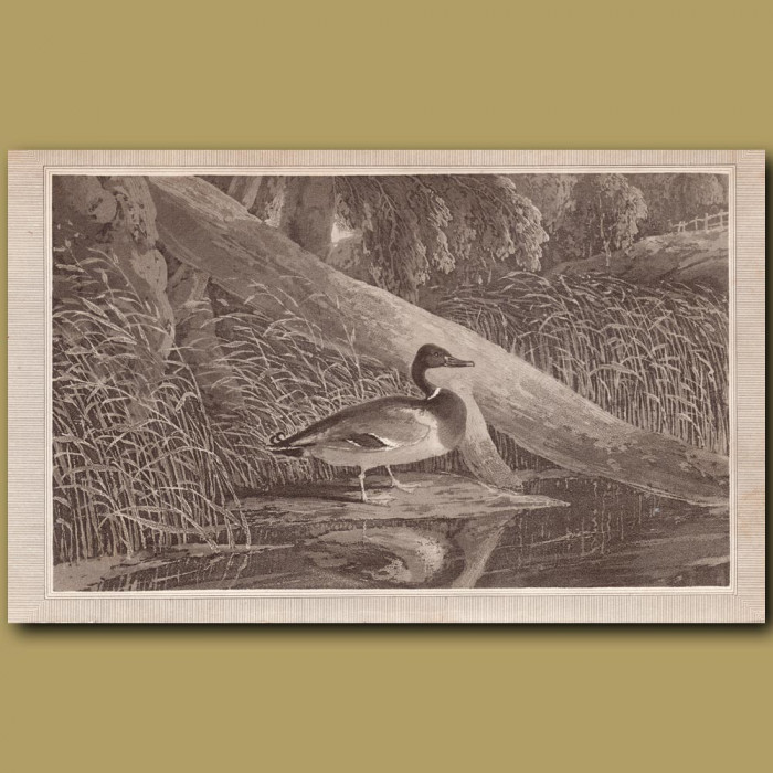 Mallard: Genuine antique print for sale.