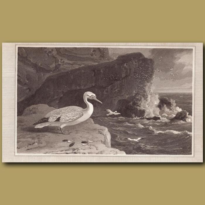 Gannet: Genuine antique print for sale.