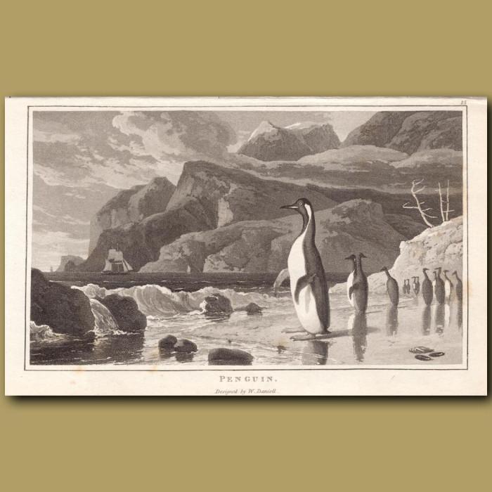 Penguin: Genuine antique print for sale.
