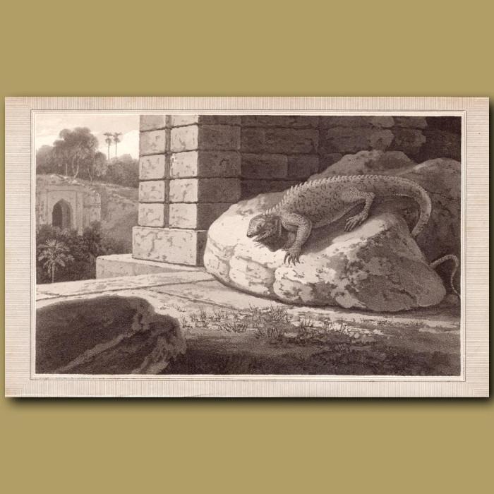 Iguana: Genuine antique print for sale.