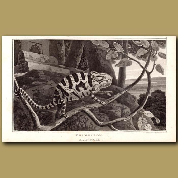Chameleon: Genuine antique print for sale.