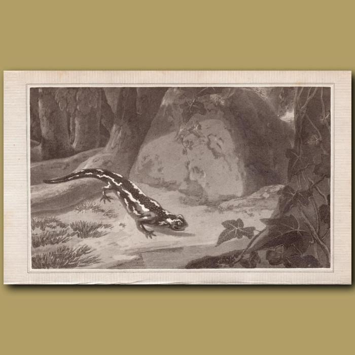 Salamander: Genuine antique print for sale.