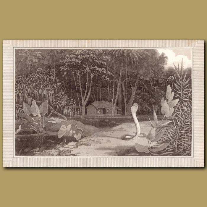 Cobra: Genuine antique print for sale.