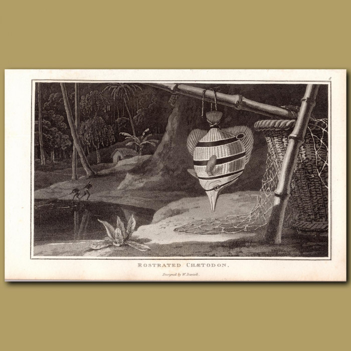 Butterfly Fish (Rostrated Chaetodon): Genuine antique print for sale.