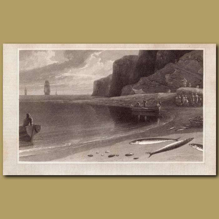 Mackerel: Genuine antique print for sale.