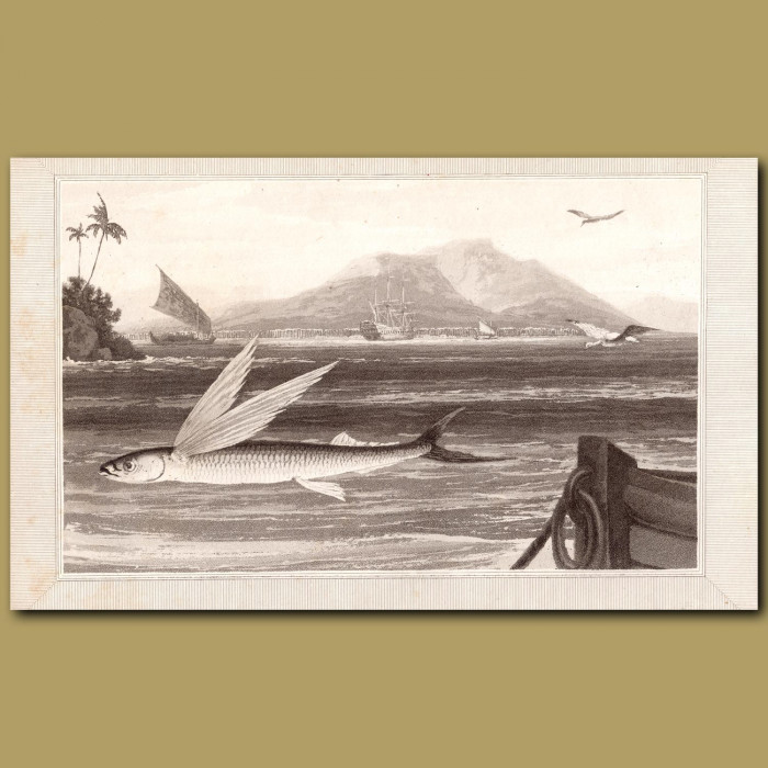 Flying Fish: Genuine antique print for sale.