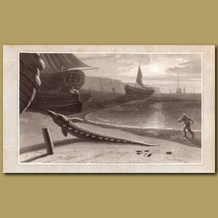 Sturgeon: Genuine antique print for sale.