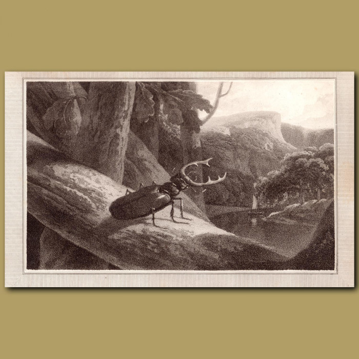 Stag Beetle: Genuine antique print for sale.