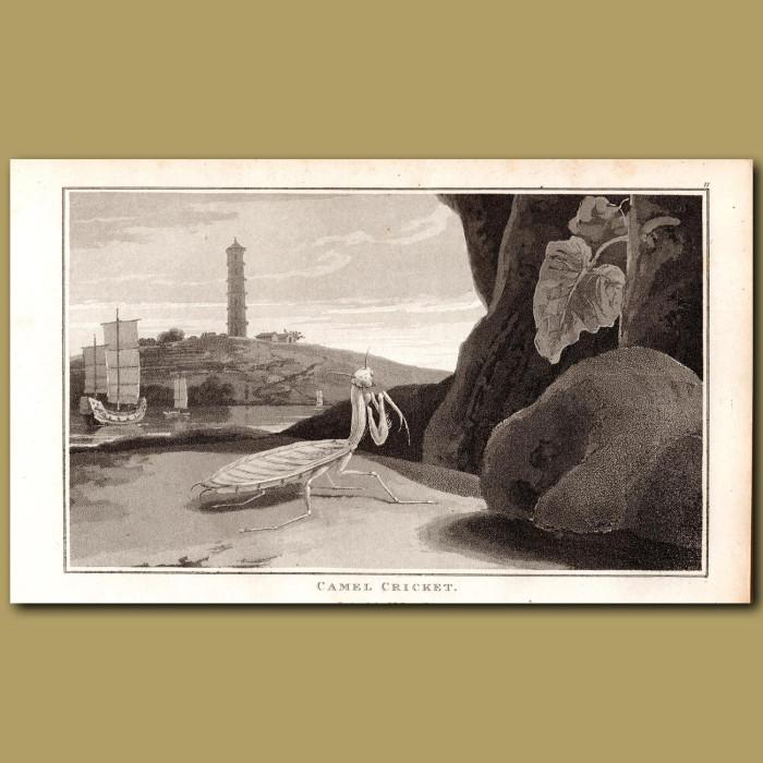 Praying Mantis: Genuine antique print for sale.