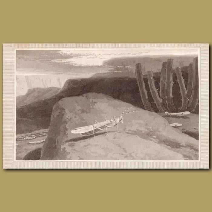 Locust: Genuine antique print for sale.