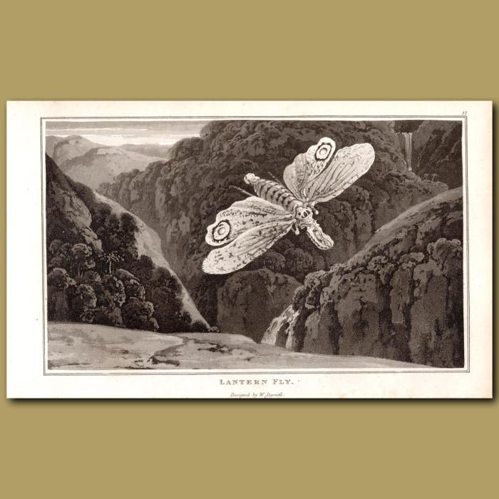 Lantern Fly: Genuine antique print for sale.