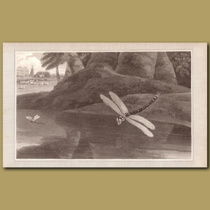 Dragon Fly: Genuine antique print for sale.