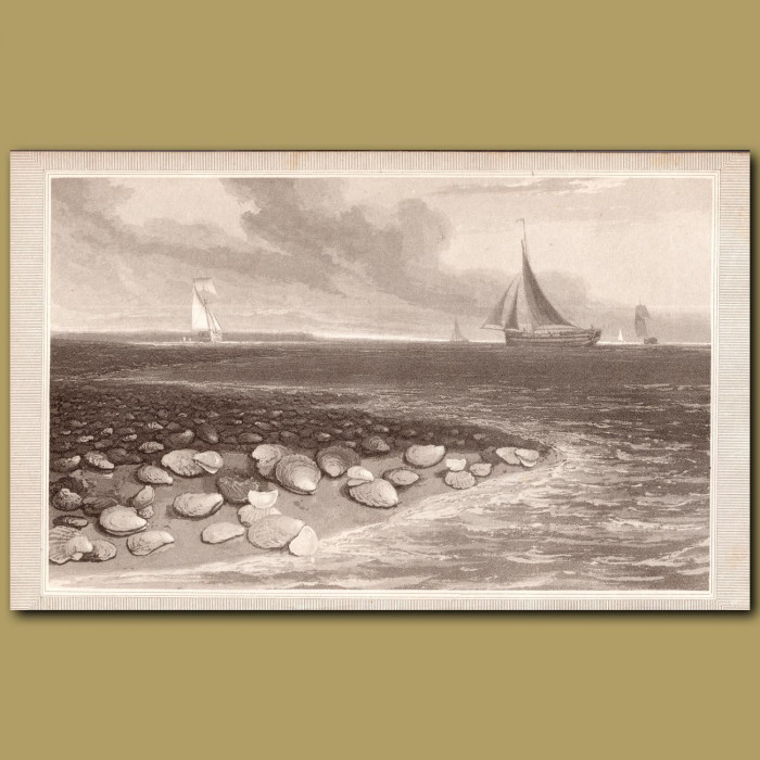 Oysters: Genuine antique print for sale.