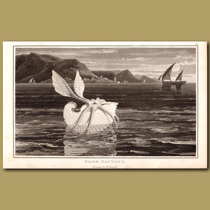 Paper Nautilus: Genuine antique print for sale.