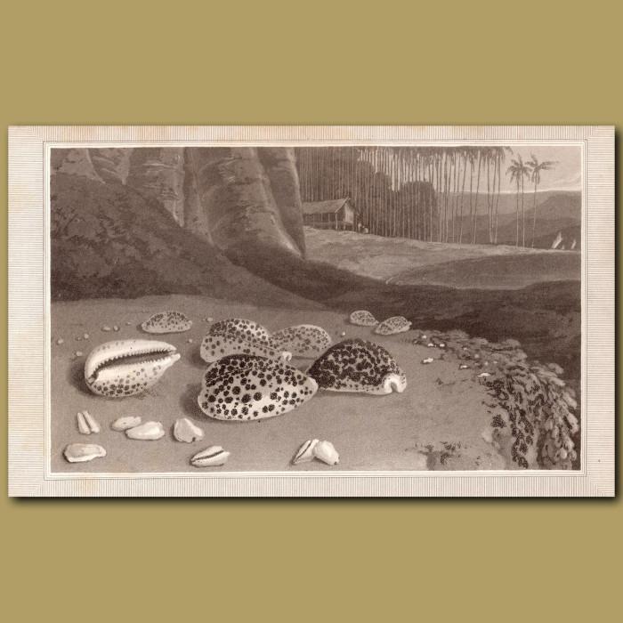 Cowry: Genuine antique print for sale.