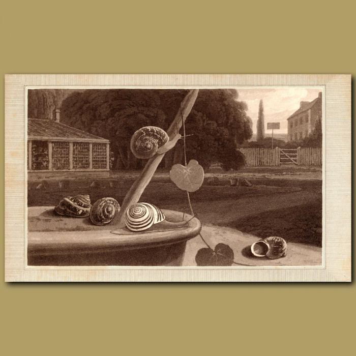 Snail: Genuine antique print for sale.