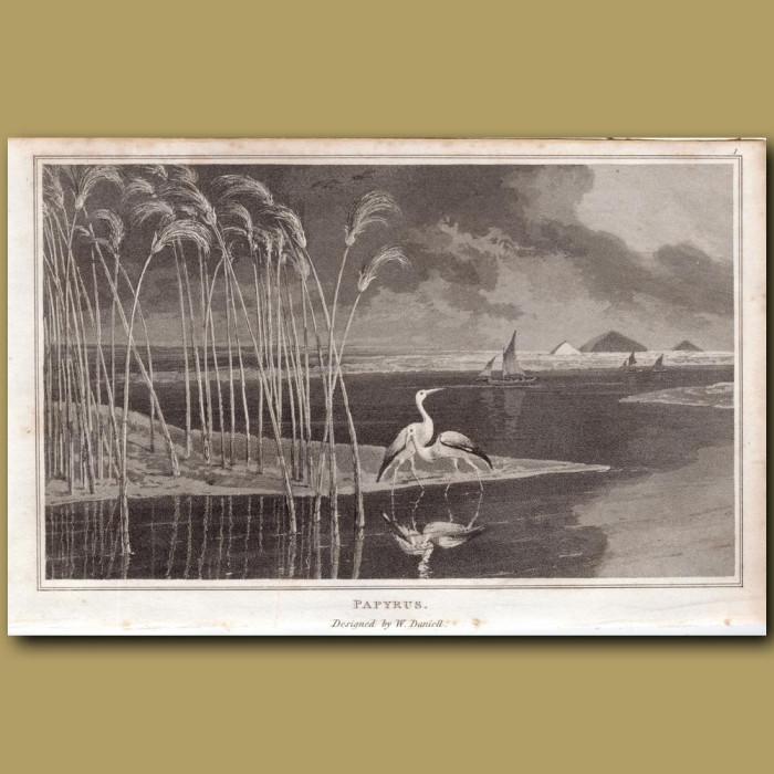 Papyrus: Genuine antique print for sale.