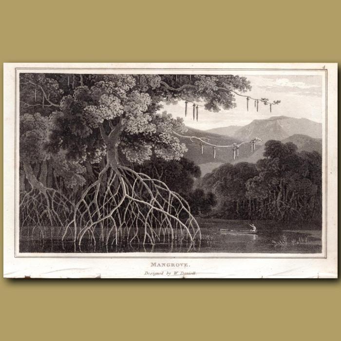 Mangrove: Genuine antique print for sale.